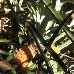 Ananassirup aus dem Dampfentsafter