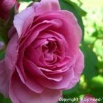 Rosen Honig Lassi - vegetarisch