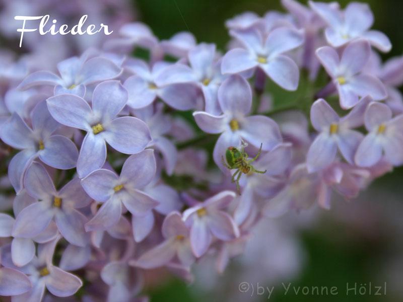 Flieder_01