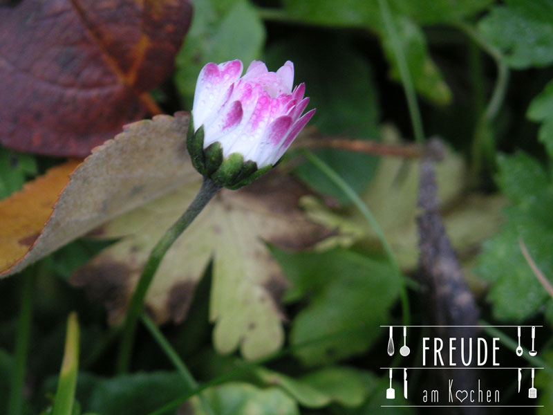 Kleine Wildkräuterkunde plus essbare Wildpflanzen - Gänseblümchen - Freude am Kochen