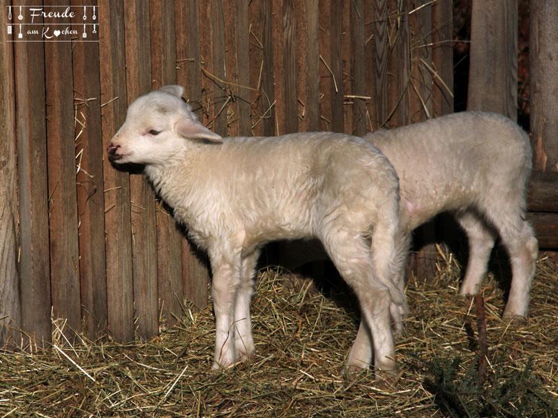Schafe - Mattsee - Salzburger Land - Freude am Kochen