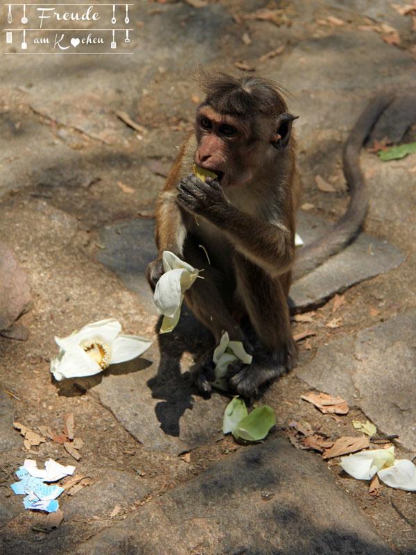 Affe Dambulla - Reisebericht Sri Lanka - Freude am Kochen