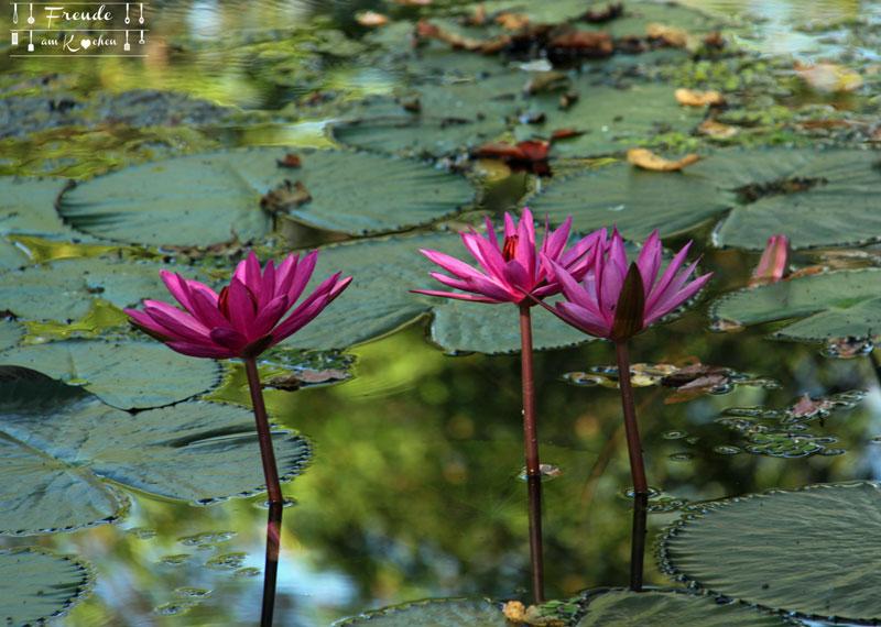 Lotosblüten - Blüten - Sri Lanka - Freude am Kochen