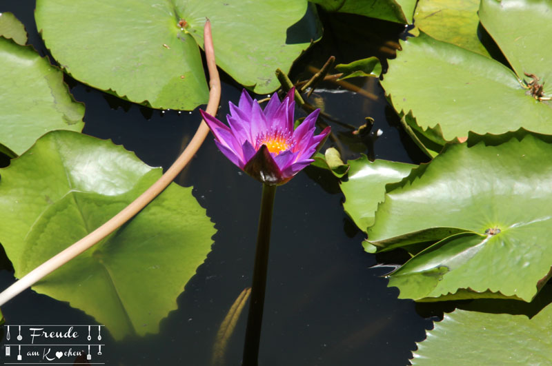 Lotusbluete-07