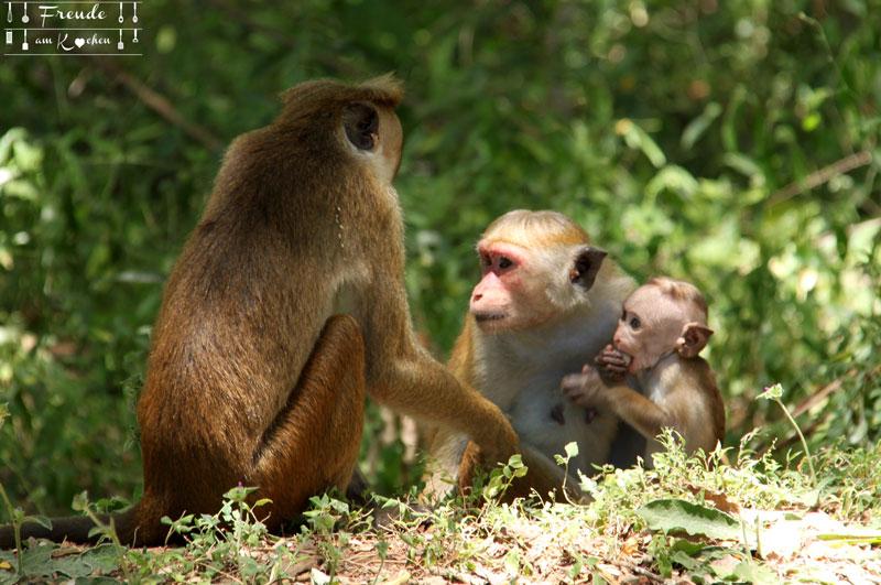 Affen - Polonnaruwa - Reisebericht Sri Lanka - Negombo - Freude am Kochen