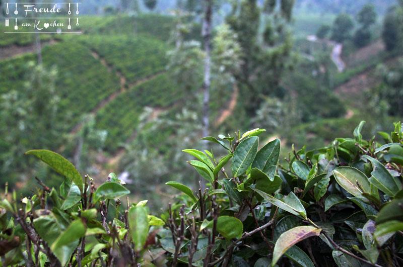 Teeplantage Glenloch - Reisebericht Sri Lanka - Freude am Kochen