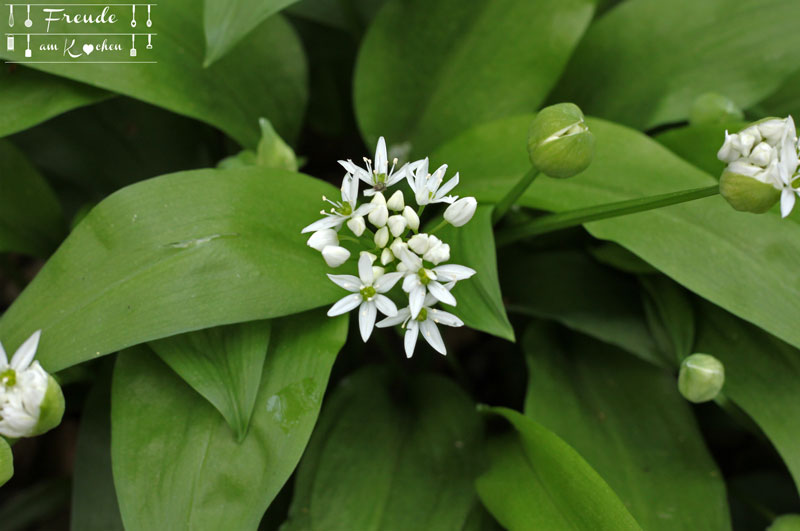 Bärlauch essbare - Blüte - Bärlauchblüte Wildkräuter - Freude am Kochen