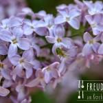 Fliedersirup