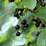 Schottische Limonade – Pfefferminz-Johannisbeer-Saft