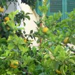 Zitronenthymianöl mit Zitrone