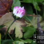 Gänseblümchen Salat mit Bärlauchsenf-Buttermilch-Dressing – vegetarisch