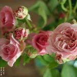 Rosenblüten Konfitüre