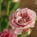 Rosenblüten Sonnenblumenkern Pesto