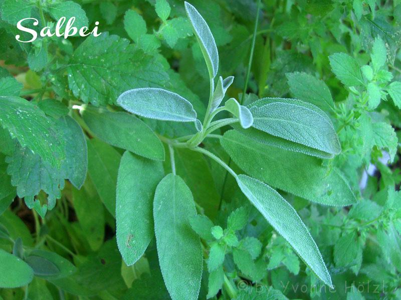Frittierte Salbei Blätter - Freude am Kochen vegan