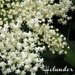 Gesammelte Holunderblüten Rezepte