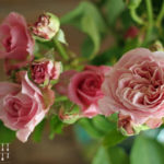 Rosenblütenpudding